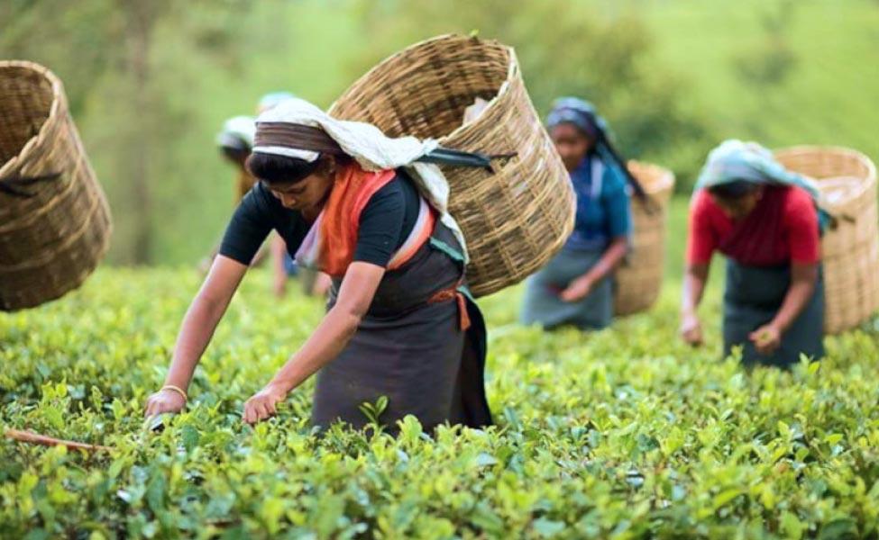 Tea Garden Bandapani