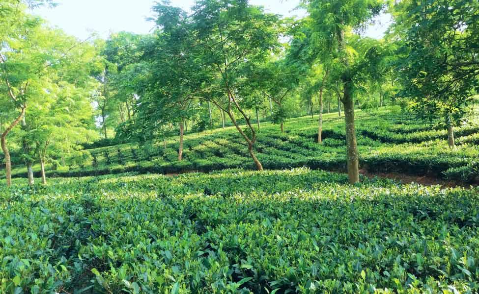 Raipur Tea Garden